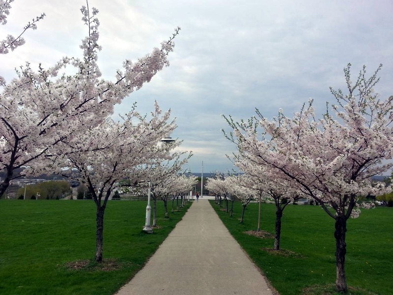 Blooming sakura at Bayfront Park