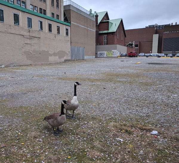 Canada geese on a vacant lot in downtown Hamilton (RTH file photo)