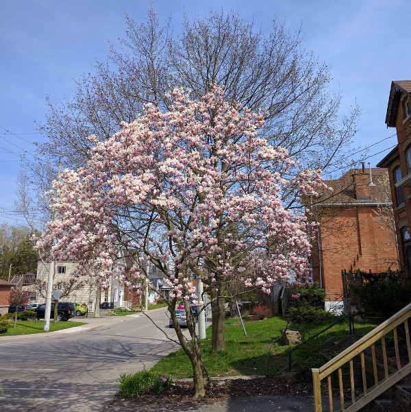 Flowering magnolia tree in Hamilton (RTH file photo)