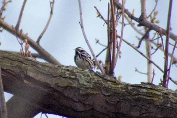Black-and-White Warbler, Confederation Park