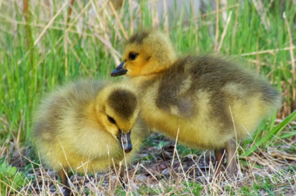 Canada Goose goslings, Princess Point