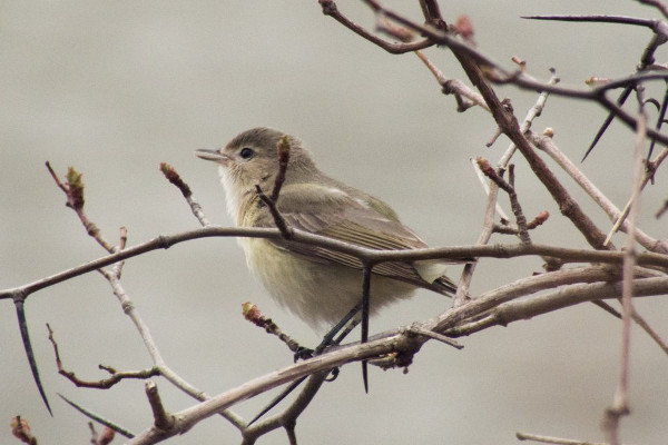 Warbling Vireo, Princess Point