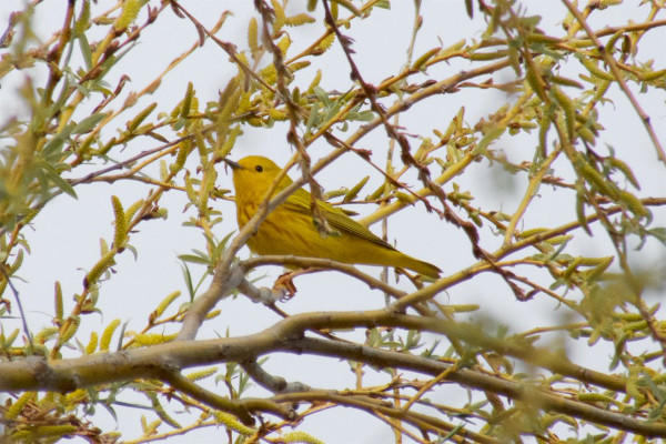 Yellow Warbler, Princess Point