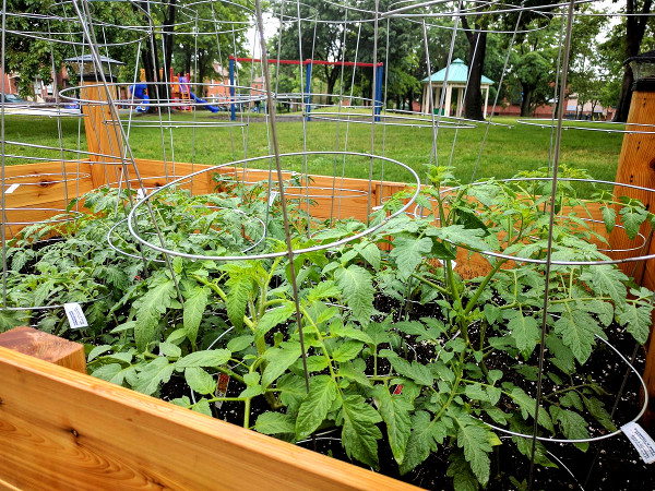 Tomato plants in Stinson Community Garden (RTH file photo)