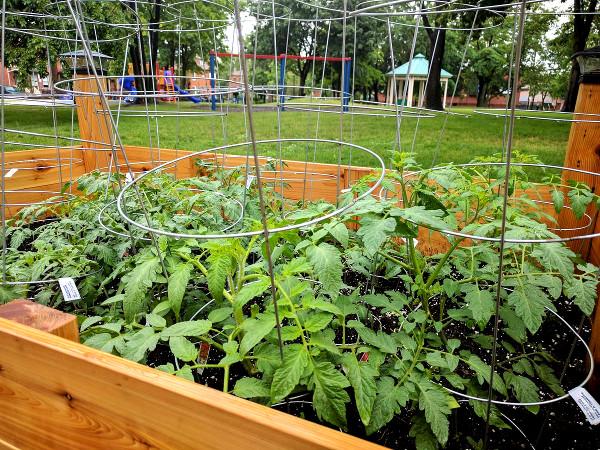 Tomato plants in Stinson Community Garden (RTH file photo)